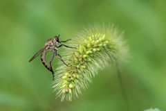 Robberfly Royalty Free Stock Photography