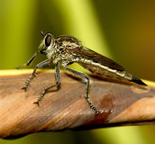 Robberfly on brown leaf Stock Photography