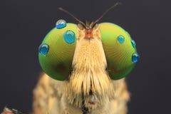 Robberfly com detalhe dos olhos das gotas fotos de stock