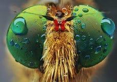 Robberfly com fim extremo acima imagens de stock royalty free