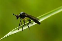 Robberfly dalle zampe rosse scarso Fotografia Stock Libera da Diritti