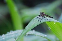 Robberfly di mattina dopo pioggia persistente fotografia stock libera da diritti