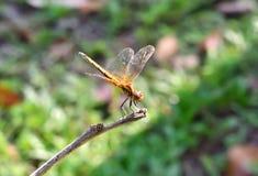 Robberfly en los parques fotografía de archivo