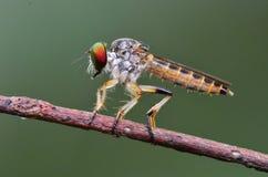 Robberfly en stationnements photos libres de droits