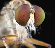 Robberfly Royalty Free Stock Image