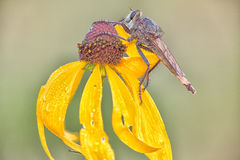 RobberFly on a Flower Royalty Free Stock Images