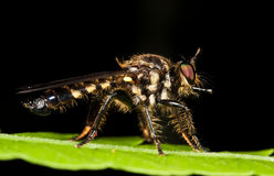 Robberfly on green leaf Royalty Free Stock Photos