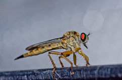Robberfly in green nature Stock Photo