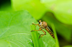 Robberfly in green nature Stock Image