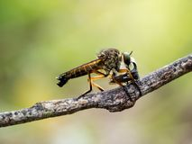 A robberfly stock image