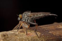 Robberfly having prey Stock Photography