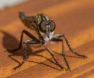 Robberfly het stellen Stock Afbeeldingen