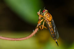 Robberfly ,insect, bug, wing. Stock Images