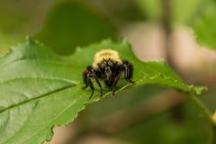 Robberfly, Laphria-thoracica royalty-vrije stock fotografie
