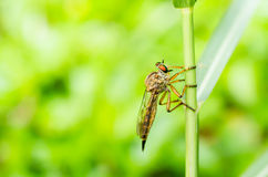 Robberfly macro in green nature Stock Photos