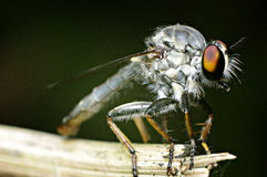 A robberfly Stock Photos