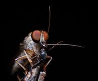 Robberfly met prooi, kus van de dood Stock Afbeeldingen