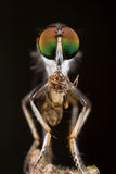 robberfly mit dem Opfer -, das barkfly, Vorderansicht ist Stockfoto