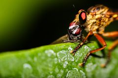 Robberfly mit Tötung stockfotografie