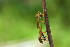 Robberfly. A pair of robberfly mating in the tree branch stock photography