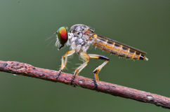 Robberfly in the parks Royalty Free Stock Photos