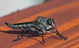 Robberfly posing Stock Photo