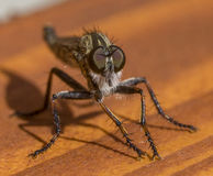 Robberfly posing Stock Images