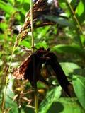 Robberfly prende un lepidottero Fotografia Stock