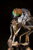 A robberfly with prey - a bark fly Stock Photos
