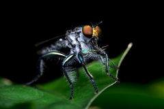 Robberfly Royalty Free Stock Photos