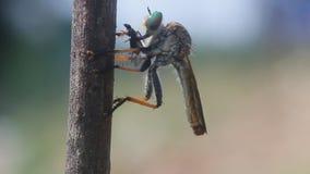Robberfly, roberfly ест малых насекомых сток-видео