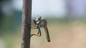 Robberfly, roberfly are eating small insects. Wallace`s flying frog, frogs, tree frogs, close up, amphibians Wallace`s flying frog, frogs, tree frogs, close up stock video footage