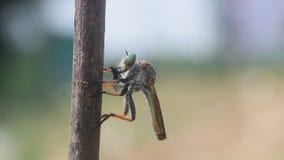 Robberfly, roberfly está comiendo pequeños insectos almacen de metraje de vídeo