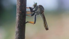 Robberfly, roberfly sta mangiando i piccoli insetti stock footage