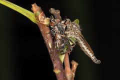 Robberfly som äter andra som är klipska Arkivbilder