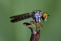 Robberfly on stick Stock Images