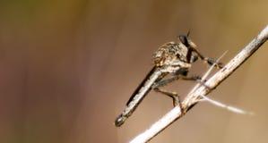 Robberfly sul gambo marrone fotografia stock libera da diritti