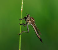 Robberfly. A robberfly waiting for prey Stock Image