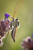 Robbert fly resting on flowers Stock Photo