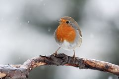 Robbin on a branch. The Robbin (Erythacus rubecula) on a branch with falling snow Stock Photos
