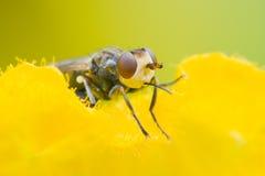 Rober fluga Fotografering för Bildbyråer