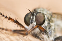 Rober fly portrait Royalty Free Stock Photo
