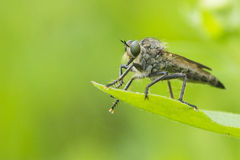 Rober fly Stock Photos