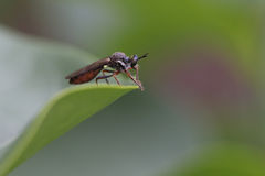 Rober fly Royalty Free Stock Photo