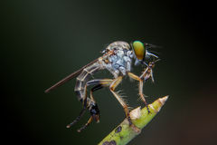 Roberfly стоковое фото rf
