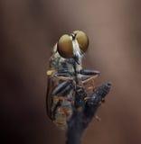Roberfly Стоковые Изображения RF