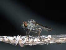 Roberfly Zdjęcie Stock