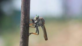 Roberfly, roberfly eet kleine insecten stock video