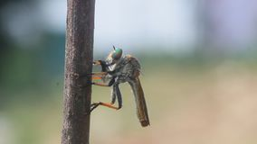 Roberfly, roberfly está comendo insetos pequenos video estoque