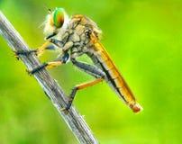 Roberfly stock image
